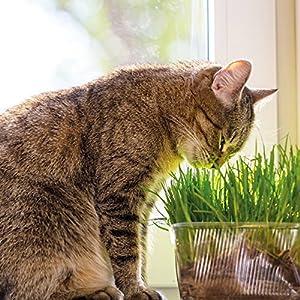 Kölle's Bio Katzengras, 12 cm Topf