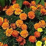 Marigold Boy Semi arancioni - Tagetes patula nana fl. pl.