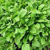 Plant World Seeds - Rocket Wasabi Seeds