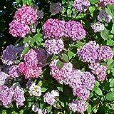 """Hydrangea serrata """"Preziosa"""" (Ortensia) [Vaso 9 Litri]"""