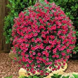Pinkdose® Blumensamen: Petunia Supercascade Mix Garten Samen Winterpflanzen Samen für Balkon (4 Pakete) Garten Pflanzensamen von