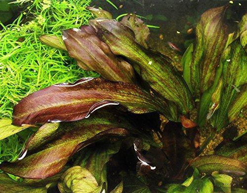 Dennerle 185 Aquarienpflanzen