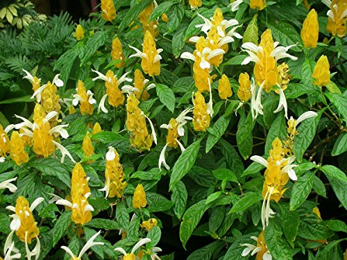 s lutea Lutscher golden Garnelen Blume subtropischen Hausgarten ()