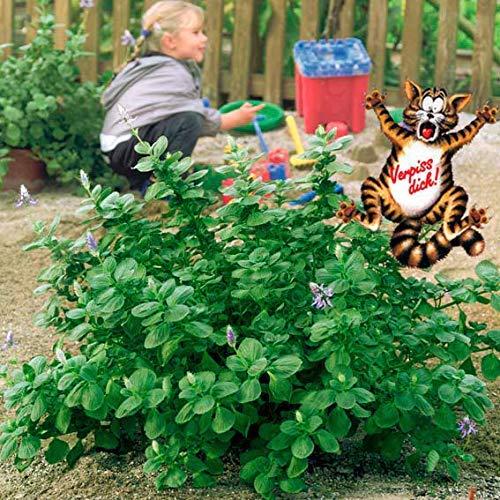 Beetliebe Gartencenter - Kräutersamen Verpiss-Dich-Pflanze Hunde/Katzen abwehren, dickfleischige, grün silbrige Blätter mit blauen Blüten Blumensamen winterhart mehrjährig