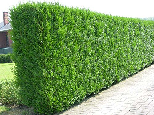 10x-thuja-plicata-evergreen-hedge-plants-western-red-cedar-fast-growing-conifer-trees