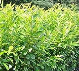 Immergrüne frostharte Kirschlorbeer Novita Prunus Laurocerasus 80 cm verschiedene Mengen (3)