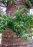 TROPICA - Bunya – Bunya Baum (Araucaria bidwilii Hook.) - 3 Samen