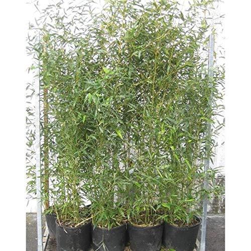 Phyllostachys bissetii C5 Topf 5L cm Ø 125-150 cm- Bisset Bambus - Grüner Bambus