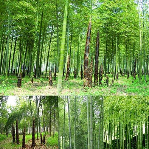 TOPmountain Semillas de bambú,100 Piezas de Semillas de bambú de rápido Crecimiento para la plantación de huertos caseros,fáciles de Cultivar