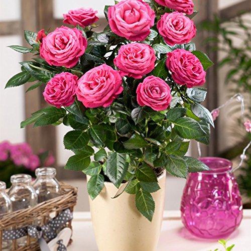 floristikvergleich.de Dominik Blumen und Pflanzen, Topfrose mit Herzstecker und rotem Keramik-Übertopf