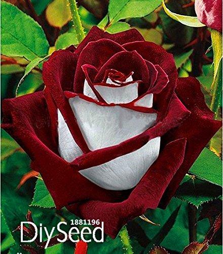 blue-ribbon-rose-terraza-aromatico-sabor-patio-subiendo-100-semillas-de-flores