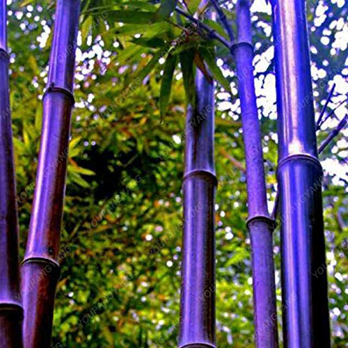 50pcs / bag blau Bambuspflanzen, Bambus Samen, Moso Bambus Samen, Phyllostachys Natur Stängelpflanze, DIY für Heim & Garten Burgund