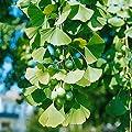 Ginkgo-Strauch, 1 Pflanze von Amazon.de Pflanzenservice auf Du und dein Garten