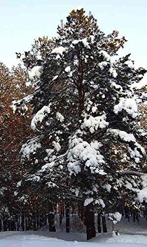 Asklepios-seeds® - 25 Samen Sibirische Zeder/Zirbelkiefer, Pinus sibirica