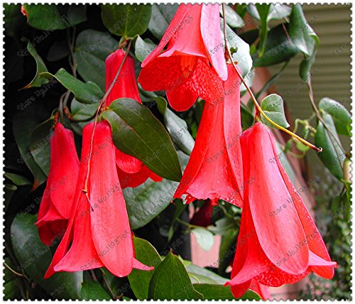 nueva-rare-300-pc-bolsa-chilena-bellflower-lapageria-rosea-semillas-rbol-de-hoja-perenne-dura-sombra