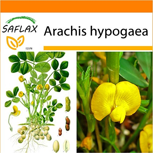 Galleria fotografica SAFLAX - Garden in the Bag - Arachide - 8 semi - Arachis hypogaea