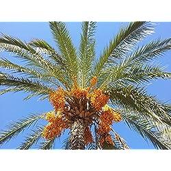 Echte Dattelpalme Phoenix dactylifera Pflanze 20cm essbare Früchte Datteln Palme
