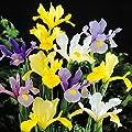 Holländische Iris Mischung von Meingartenshop bei Du und dein Garten