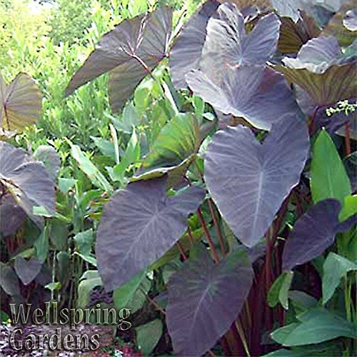 PLAT FIRM GERMINATIONSAMEN: Elefant Ear COLOCASIA ESCULENTA Pflanze 'Black Magic' Einzigartiges Exemplar