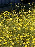 Anthemis tinctoria - Färberkamille, 24 Pflanzen