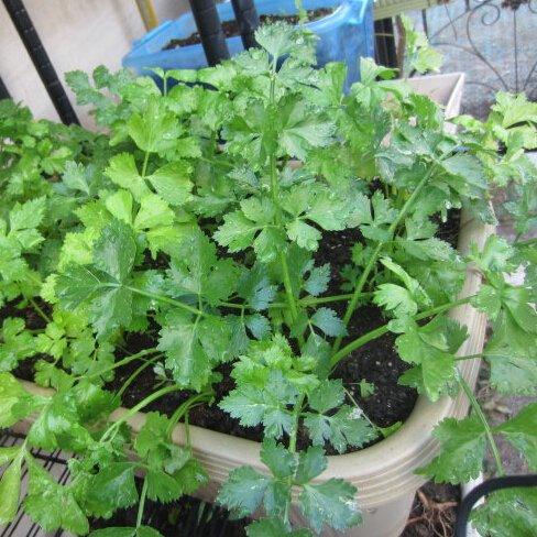 100 particules / sac de céleri, graines de légumes pour les plantes de jardin