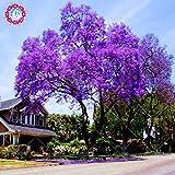 100pcs/bag Paulownia Samen Royal Empress Baumsamen (Paulownia tomentosa), ourdoor Pflanzen Blumensamen Pflanze Hausgarten eingetopft 1