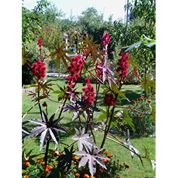 ricinus wunderbaum palma christi 30 samen 4 6 meter. Black Bedroom Furniture Sets. Home Design Ideas