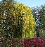 Salice Piangente 100-125cm - Salix Alba