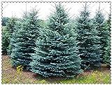 100pcs / bag semi dell'albero abete rosso blu albero di Natale molto bello per il migliore regalo bambini fai da te, BonsaïPianta giardino di casa