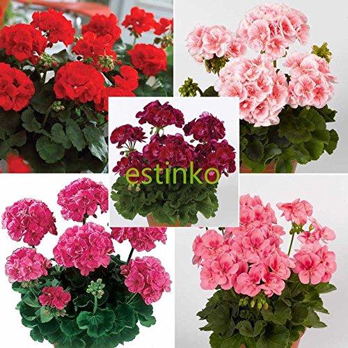Plantes g ranium pelargonium - Graine de geranium ...