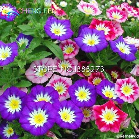 Ga 100 Pcs / sac Picotee Blue Morning Glory Seeds Rare graines Petunia Flores Bonsai plantes pour jardin facile à cultiver Jardin Pot.