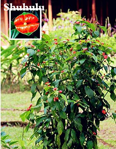 Plus vendu! Lèvres Rare fleur rouge semencière africaine Bonsai Plante en pot bricolage jardin paysager décoratifs pour la maison 50 pièces