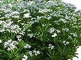 Echter Waldmeister (Galium odoratum) 25 Samen