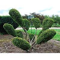 Taxus baccata Aufrechte Goldeibe Golden Crown 40-50cm
