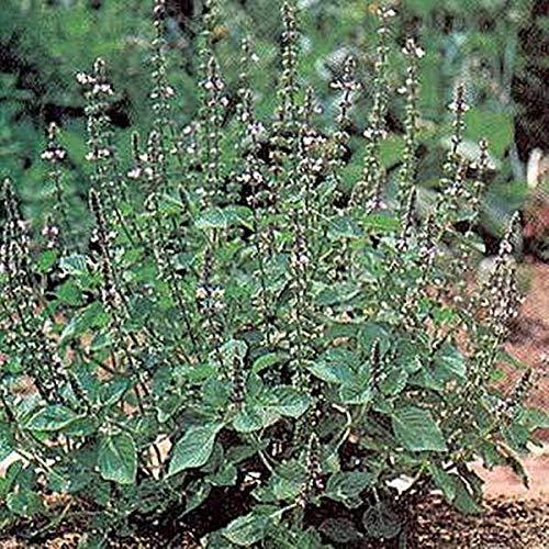 Pase Seeds Herb Seeds - Basil Genovese Seeds -