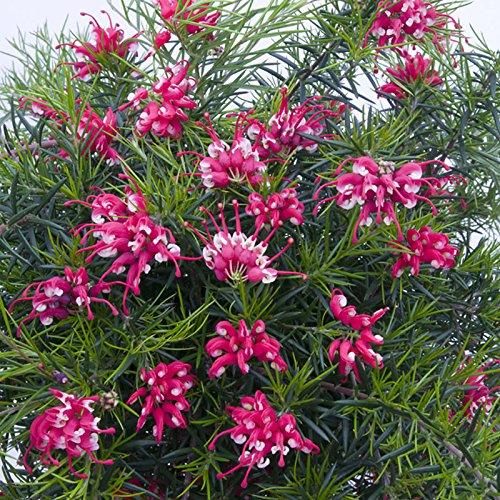 set-of-3-grevillea-canberra-gem-flowering-shrubs-in-9cm-pots