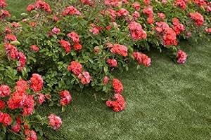 Rosier Coral Drift ® Meidrifora Sans Motte - Rose