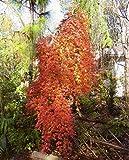 Acer palmatum Ryusen - oranger japanischer Zierahorn - verschiedene Größen (40-60cm - Topf 3Ltr.)