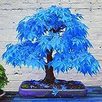 WuWxiuzhzhuo 20Pcs Superbe Rare Bleu en érable Graines Bonsai Plantes Jardin Home Décoration d'arbre