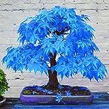WuWxiuzhzhuo 20PCS Beautiful rara blu acero semi bonsai piante da giardino casa decorazione albero 1