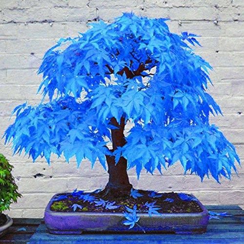 WuWxiuzhzhuo 20Wunderschöne seltene Blau Ahorn Samen Bonsai Pflanzen Garten Home Weihnachtsbaumschmuck 1