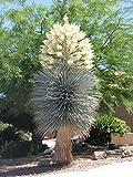 YUCCA RIGIDA, BLEU YUCA exotiques arbre rare désert jardin agave comme les graines 15 graines