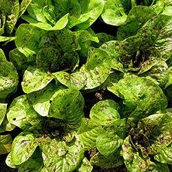 Römersalat Samen, Freckles, Fleischsalat Samen, Groß Samen, Nicht-GVO-400ct