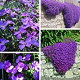 100pcs Purple Flower Aubrieta Hybrida Seeds Jardin des vivaces couvre-sol des plantes
