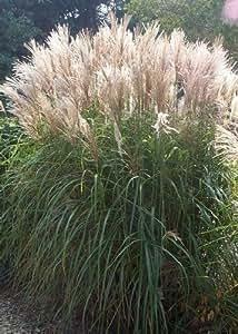 Tropica - herbes et bambou - graminée géante - roseau de Chine (Miscanthus chinensis) - 200 graines