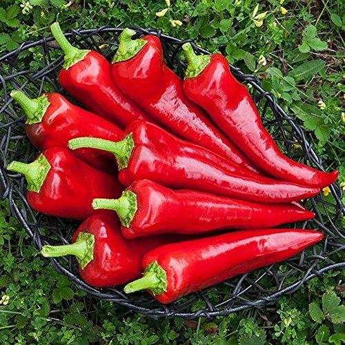 Shoopy Star 25 - Seeds: Stocky Red Roaster Pfeffer Seeds - Italienische Paprika sind köstlich !!!! Red Roaster