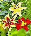 MyRedRose Tree-Lilies®-Kollektion, Baumlilien Mischung, 6 Stück Lilium von MyRedRose auf Du und dein Garten