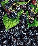 Kisshes Seedhouse - 100pcs Rare Délicieuses Mûre bio graines, sans épines, savoureux et juteux Mures Graines, Facile à Cultiver et à Entretien Maison Jardin Extérieur vivaces fruits graines