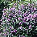 Roseneibisch rosa - 1 strauch von Meingartenshop auf Du und dein Garten