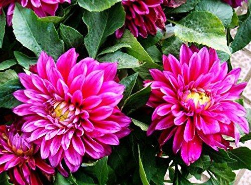 Couleurs mélangées rares Dahlia Graines Graines Fleurs vivaces Belles Dahlia pour le bricolage jardin 100 PCS / Sac 4